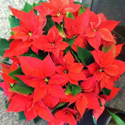 indoor holiday flowers