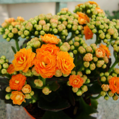 Indoor blooming plants